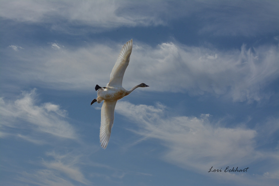 Snow Goose Comes in for a Landing