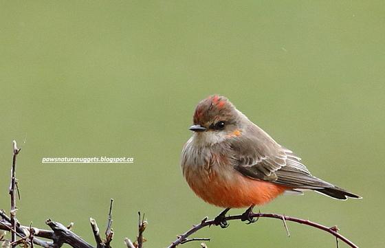 Vermilion Flycatcher in winter