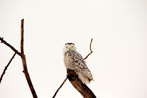 Snoosing Snowy Owl