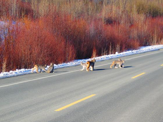 Lynx family