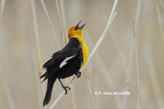 Yellow-headed Blackbird in 'song'