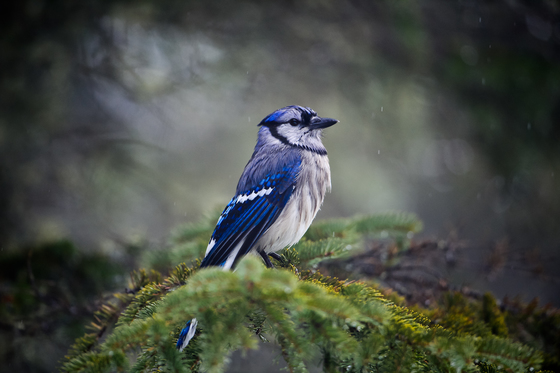 Blue Jay in Algonquin