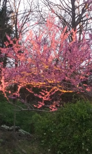 Sunshine on Redbuds.