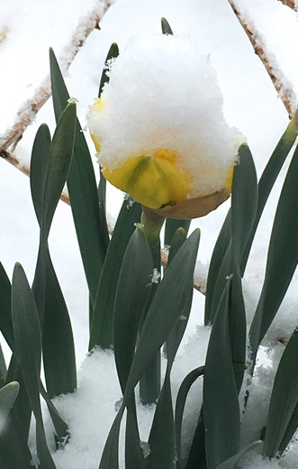 Daffodils in April 26 Snowstorm