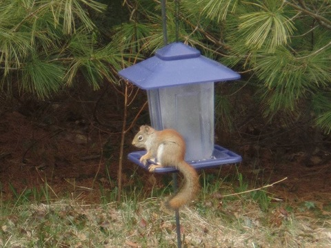 Red squirrel taken in Mooers ny
