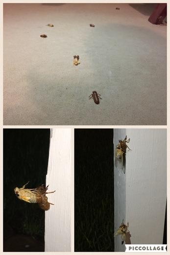 Cicadas are out!!!!