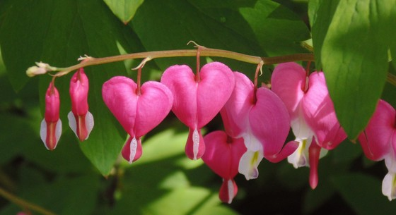 Spring Bleeding Hearts