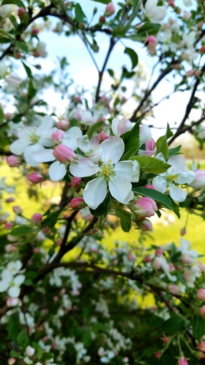 Flowering crab tree blossoms