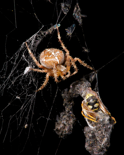 4d. Spider with wasp