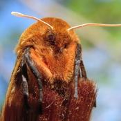 Papillon Isia Isabelle