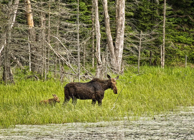 Cow moose and her baby. Magnetawan, ON