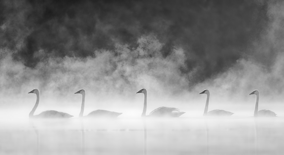 3a. Swans in the mist