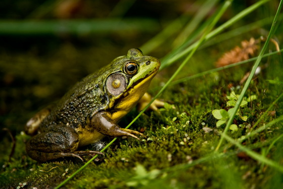2c. Green frog