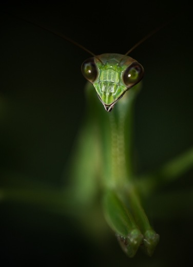 4b. Mantis portrait