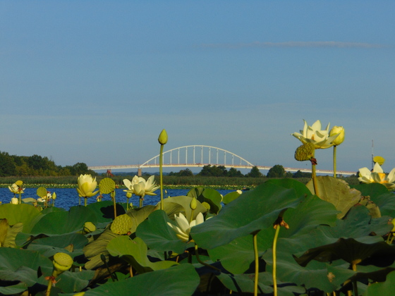 Chesapeake City Water Lilies