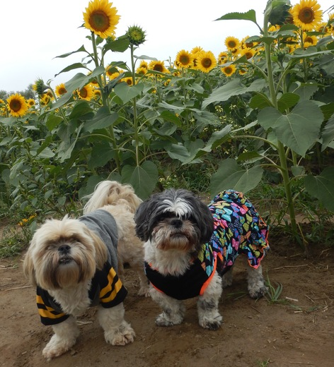 Spencer and Bella Sunflowers too