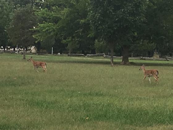 pair of fawns at Prairie Grove Battlefield Park