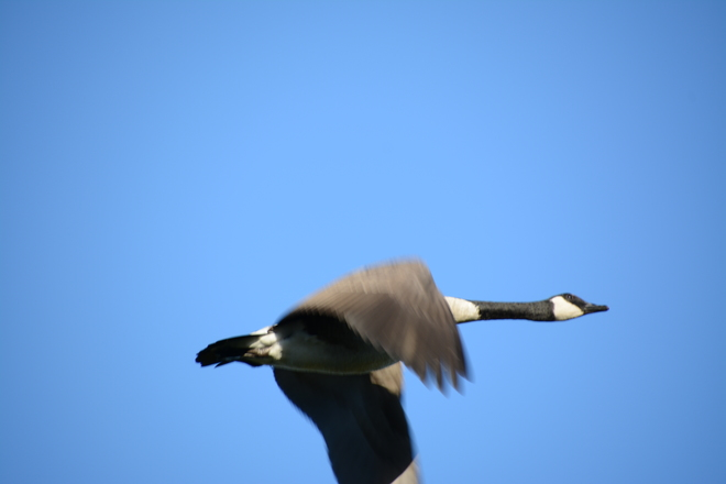 Canada Goose' cheap airlines