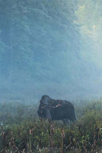 Moose on a Misty Morning