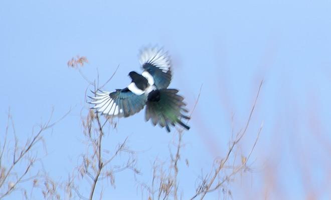 Magpie landing - photo#24