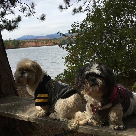 Fun fall day with shihtzus
