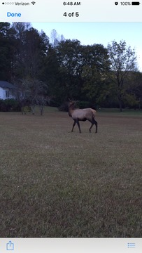 Elk Sighting in Sunset, SC