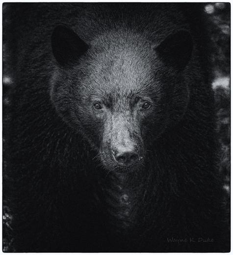 Black Bear B/W