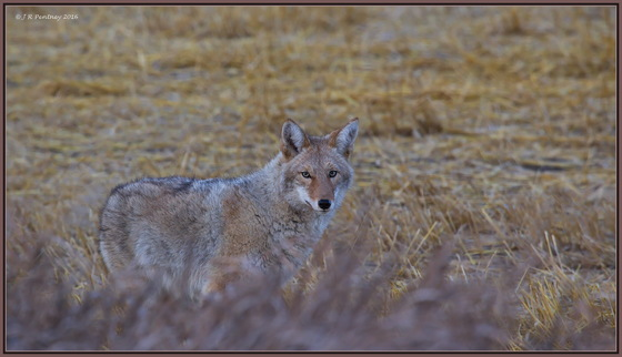 "Coyote, giving ""the look""!"