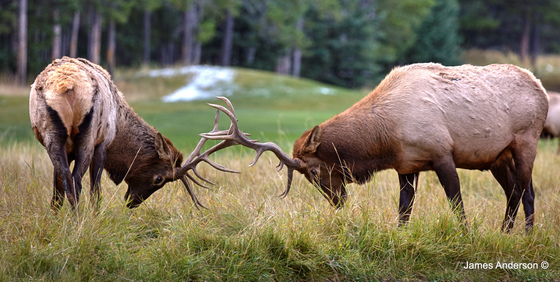 En Garde the Elk Way