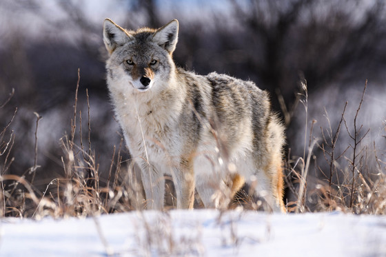 Coyote on the Prairies