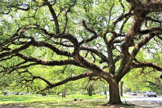 Live Oak at City Park