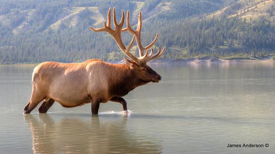 Big Elk