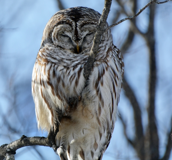 sleepy owl in daytime
