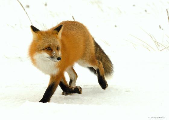 The Fox Trot !