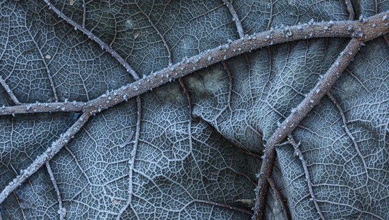 Frost on Leaf (0417)