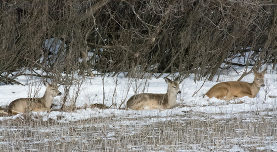 Deer in sleep
