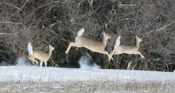 Deer in running