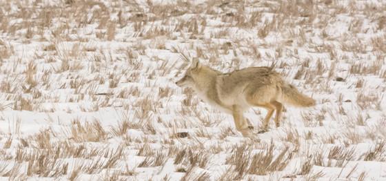 Coyote in Running