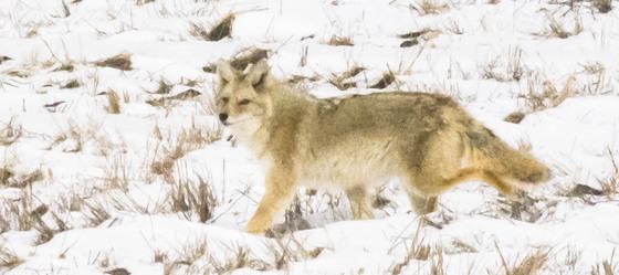Coyote in Winter Fields