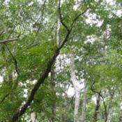 Tall Oak Trees