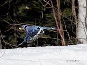 Bluejay on the Fly