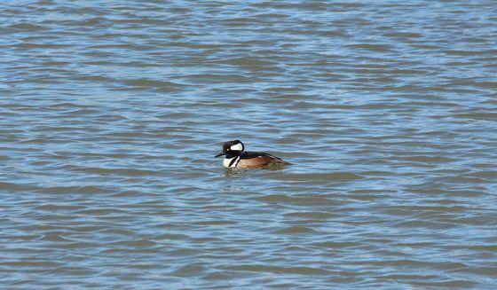 Spring Merganser duck