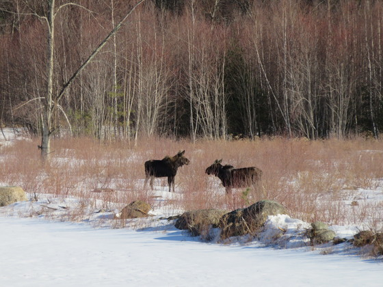 2 Moose At Our Home Today