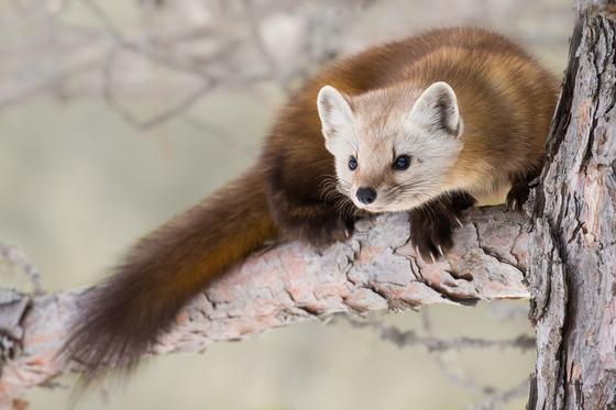 Wild fur running through the tree's