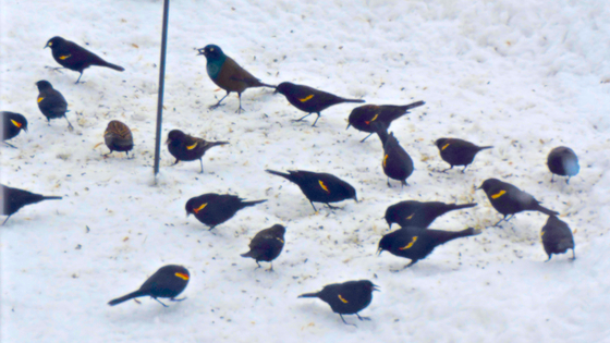The Red-winged Blackbirds have returned
