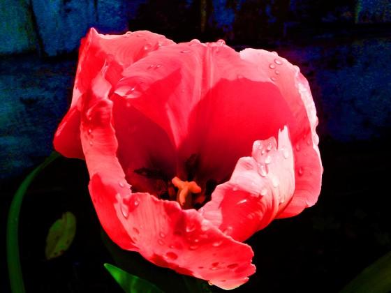 PG Tulip