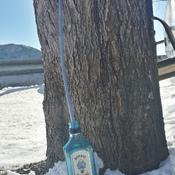 le gin coule des arbres!