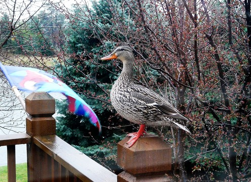 Deck Duck