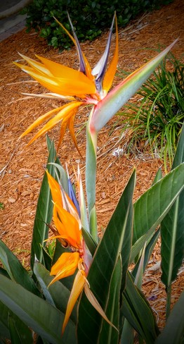 Colorful Bird of Paradise! Palm Bay, FL, United States