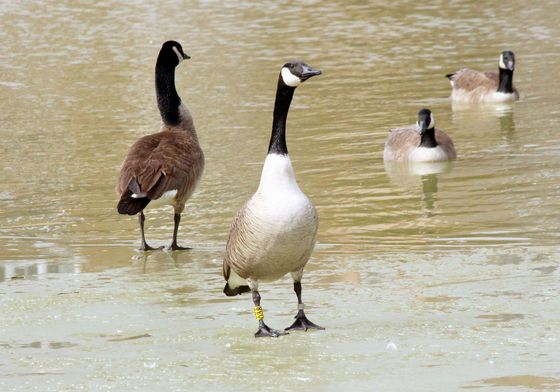 Anyone looking for their Canadian goose?
